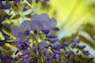 Chinese wisteria, Isola Bella, Piedmont