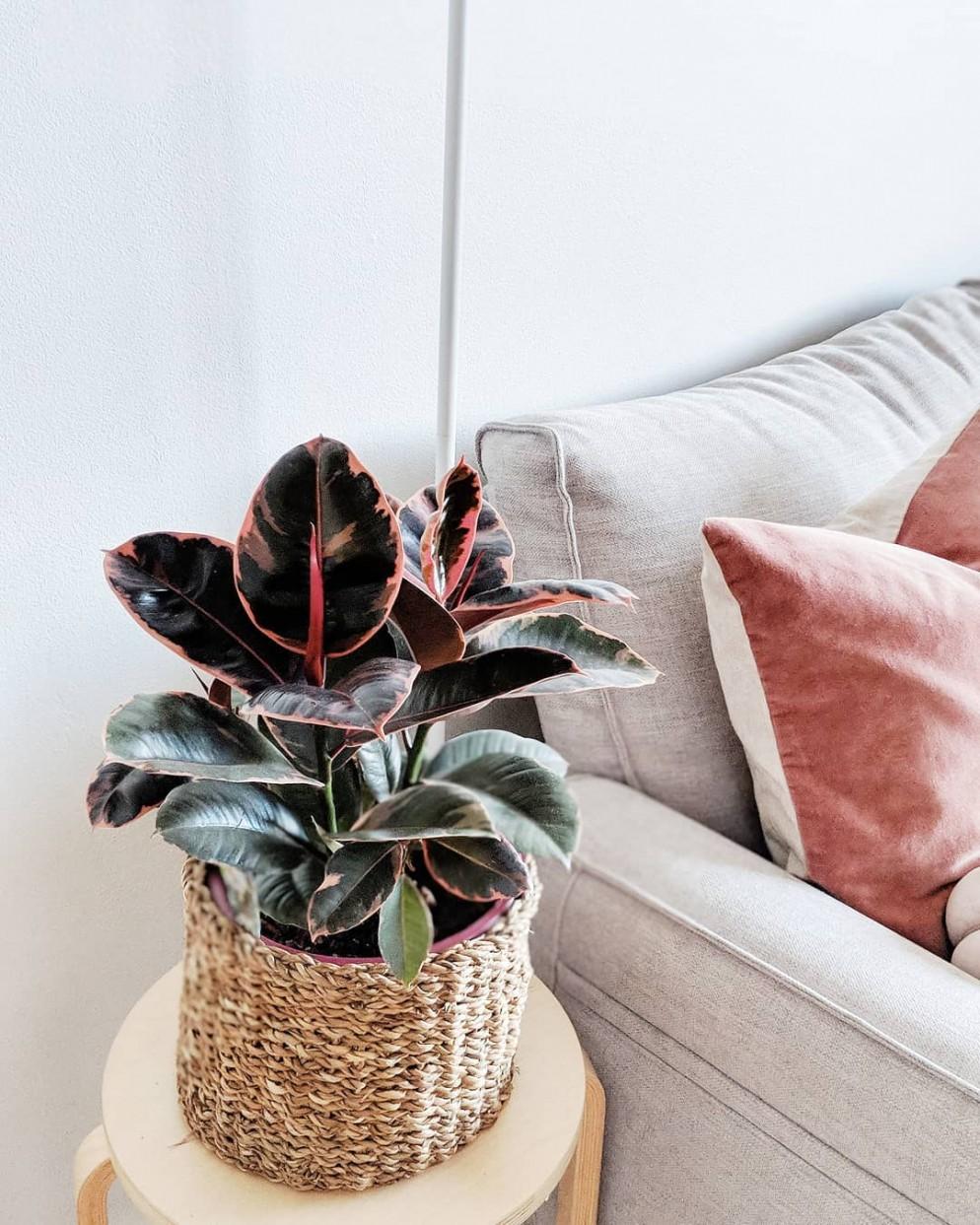 appartamento-colorate-ficus-decora-ruby-blushingvines-livingcorriere