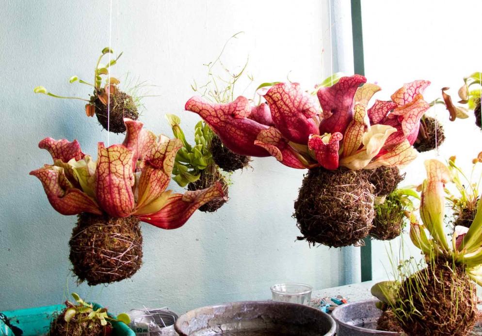 piante-carnivore-da-appartamento-1.-Per-Intro