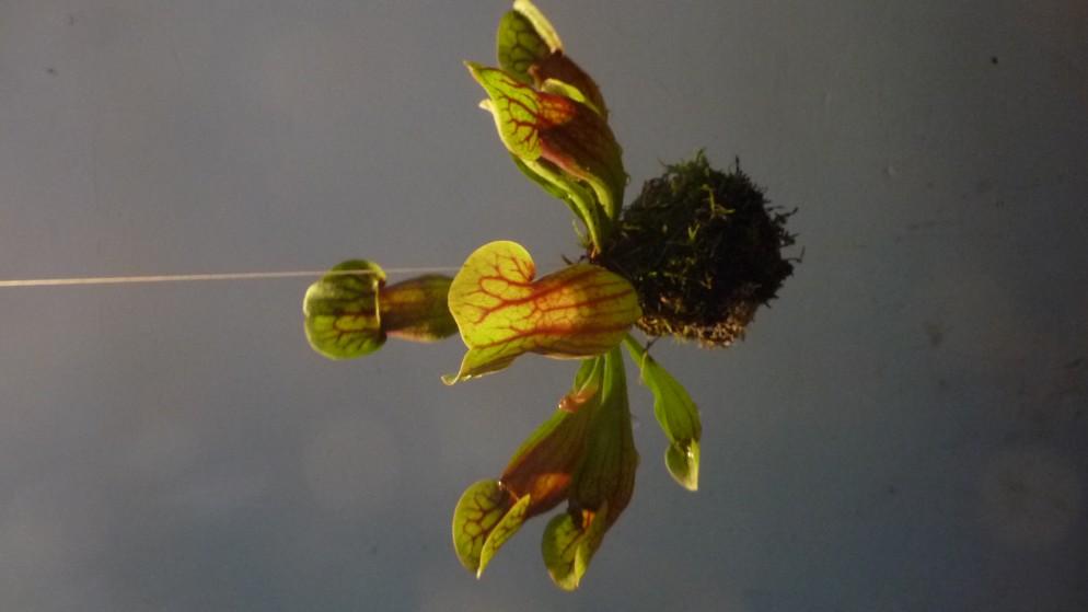 piante-carnivore-da-appartamento-4. Sarracenia Flava Hybrid Stringardens