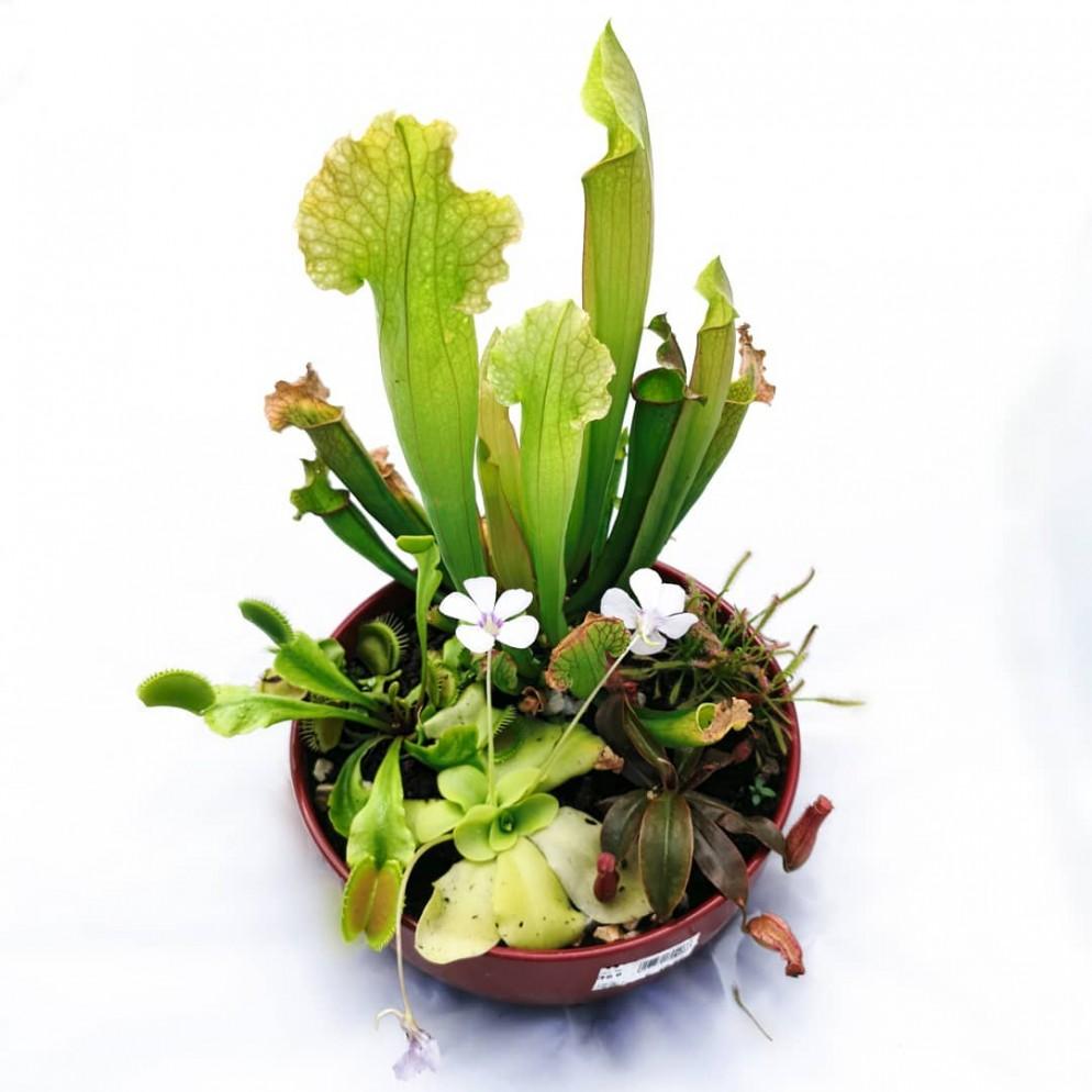 piante-carnivore-da-appartamento-9. Carnivorousplant_club and Carniflora