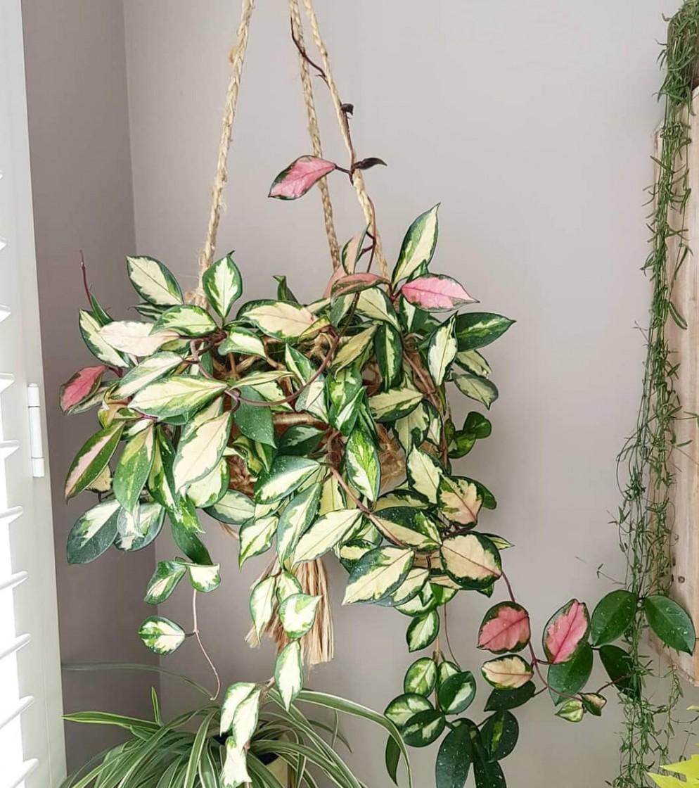 10 piante da appartamento colorate dalle foglie rosa ...