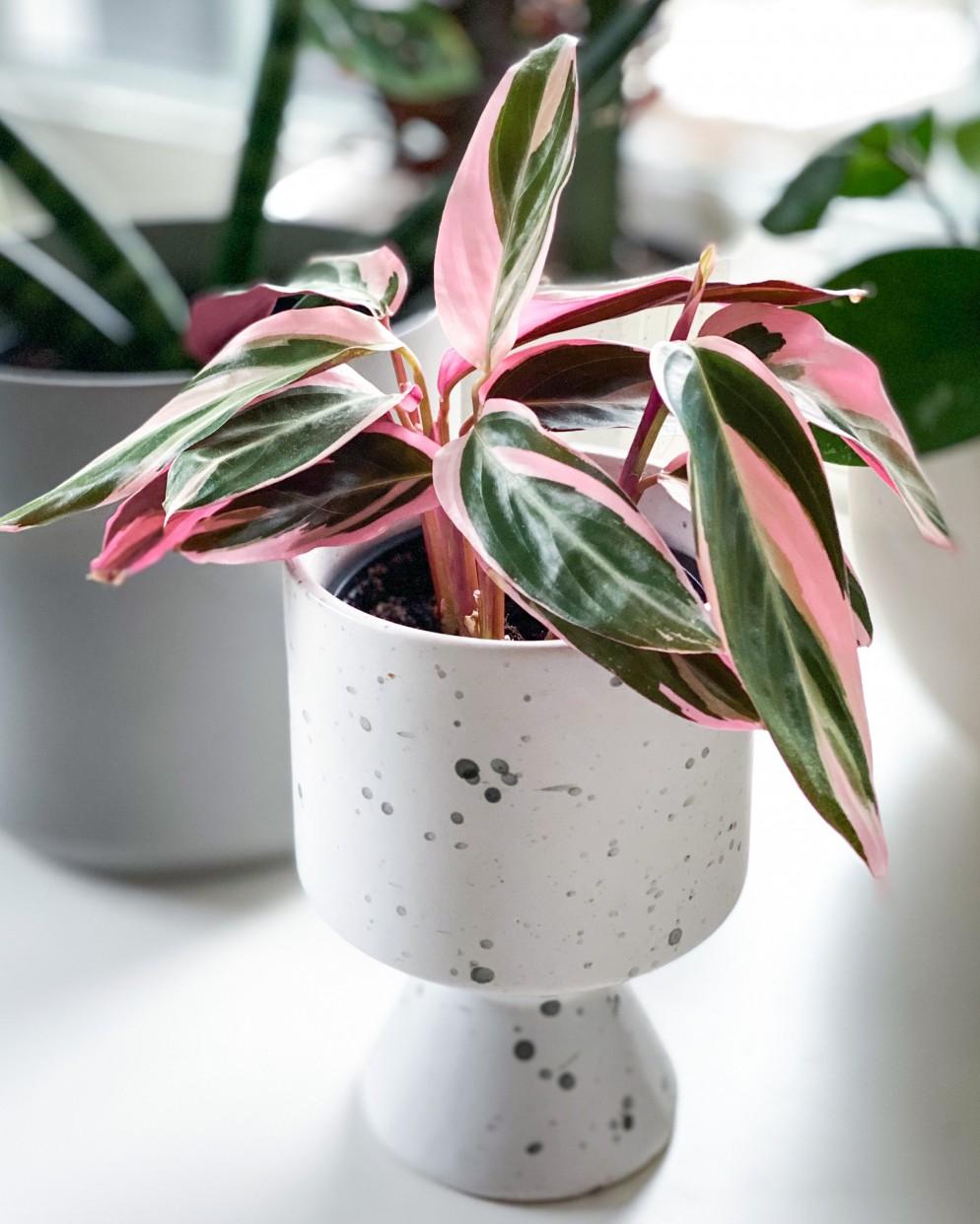 piante-da-appartamento-colorate-stromanhte-triostar-Evelyn Sisco @greenwithevy