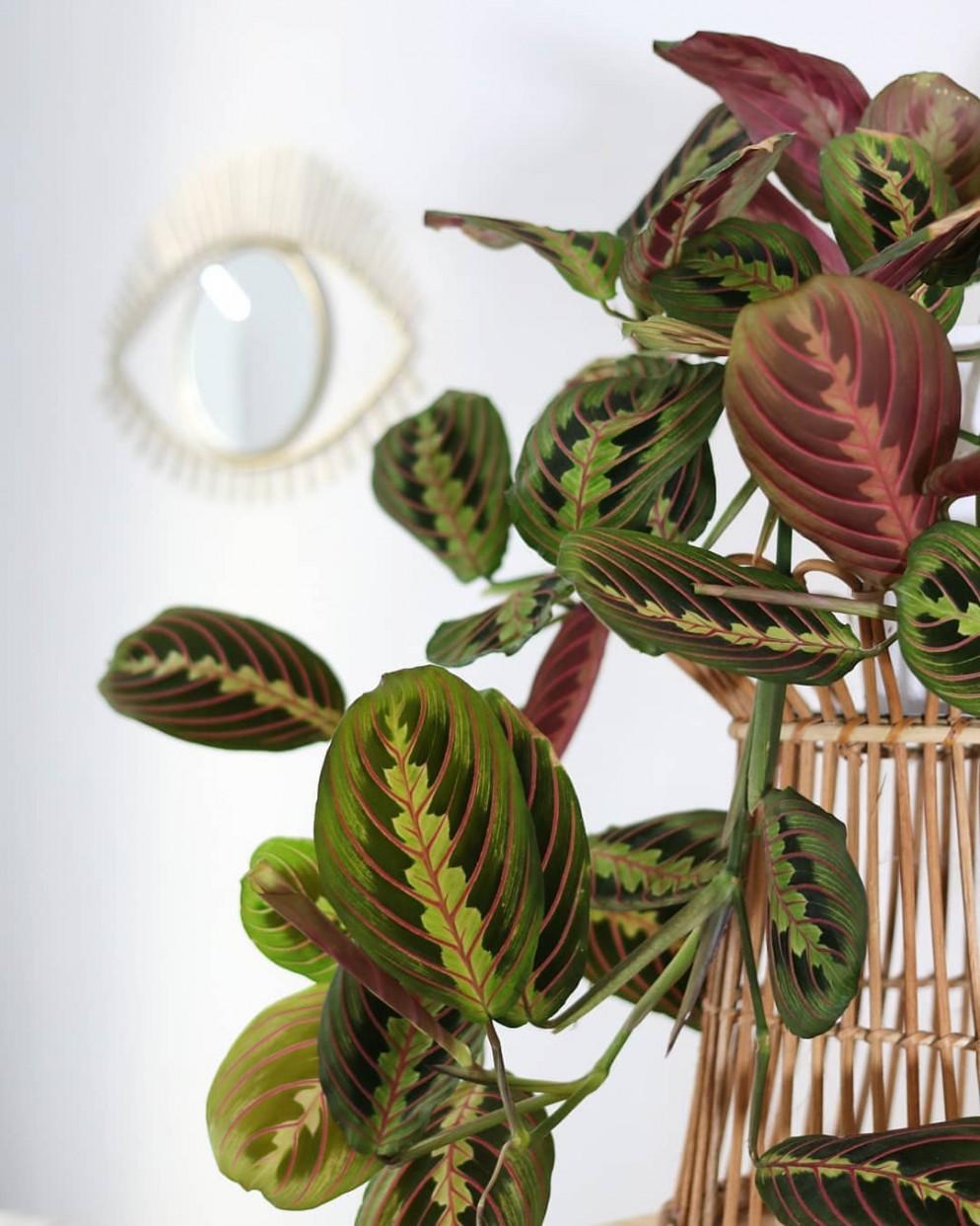 piante-da-appartamento-foglia-rosa-calathea-oeiloctave-livingcorriere