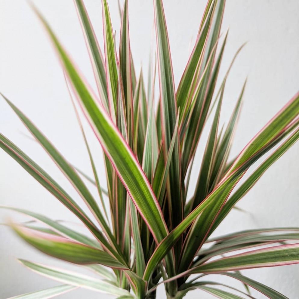 piantr-da-appartamento-colorate-dracaena-marginata-nonclerical-livingcorriere