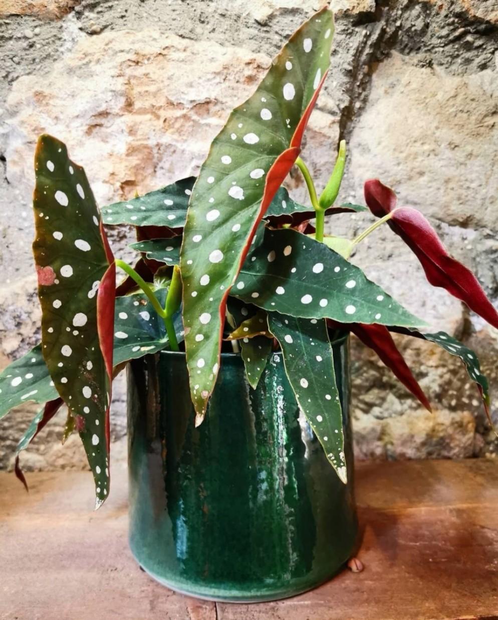1 Begonia maculata Wightii  FLEURGARDEN