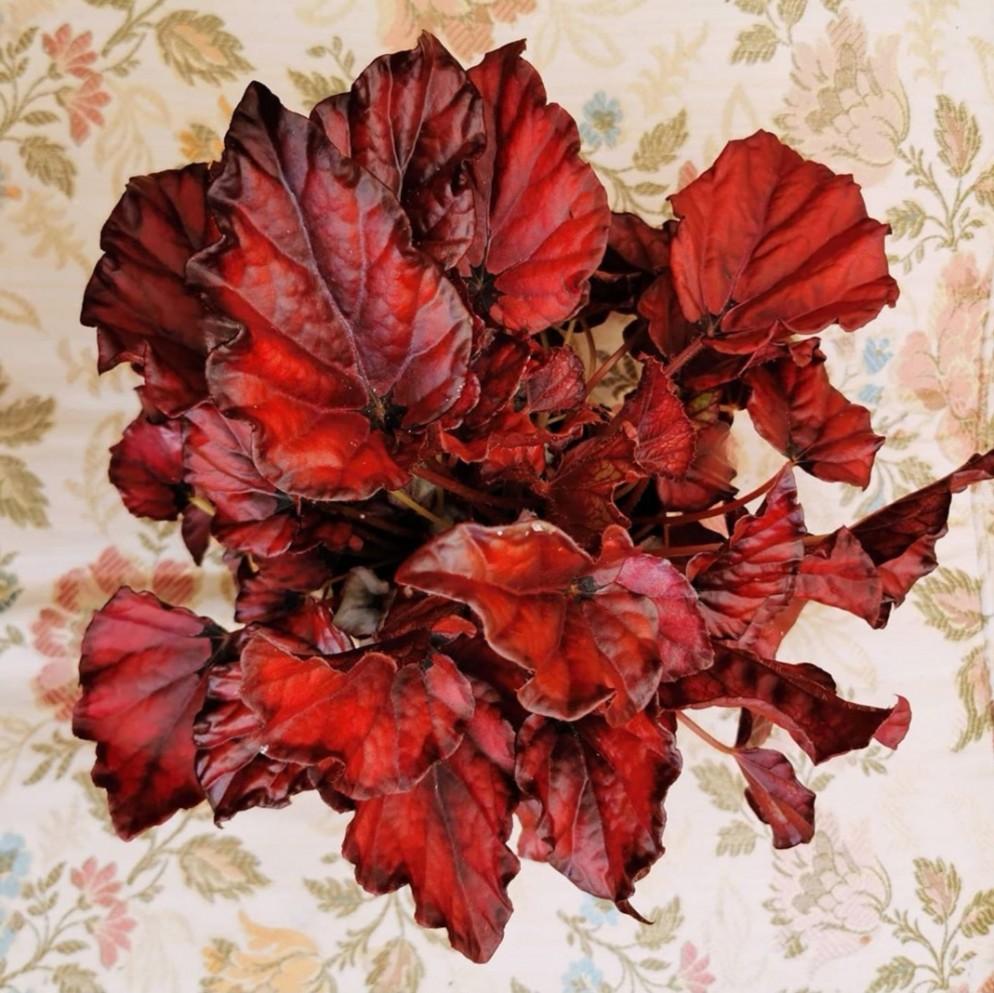 7 begonia rex red robin  FLEURGARDEN
