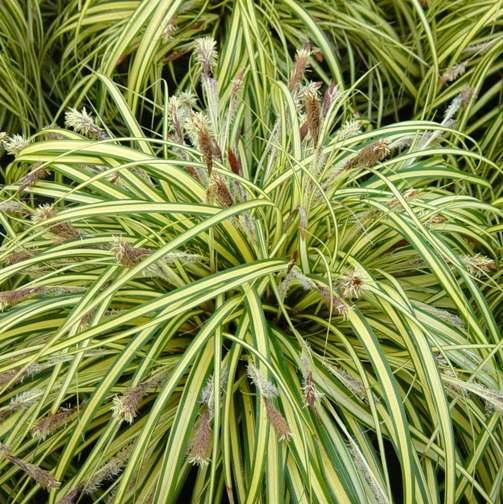 "piante-sempreverdi-da-balcone-13. Carex-morrowii-""Variegata""Vivai Le Georgiche-living-corriere"