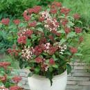 piante-sempreverdi-da-balcone-15. Amazon.com-living-corriere