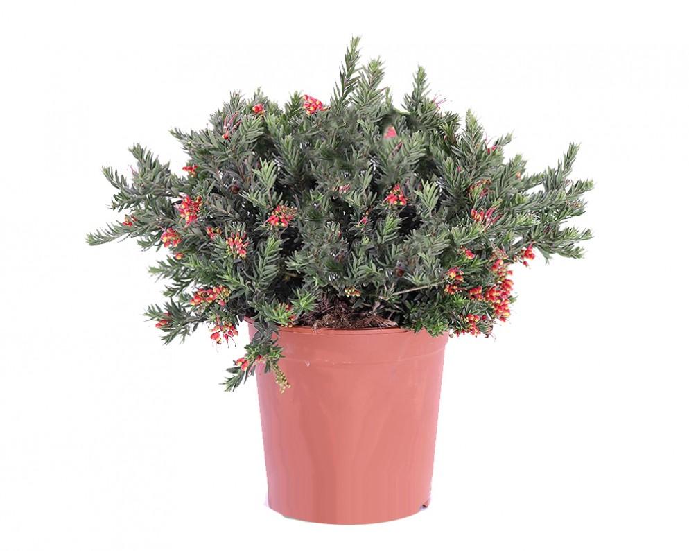 piante-sempreverdi-da-balcone-16. Gitto Garden-living-corriere