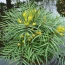 piante-sempreverdi-da-balcone-2. Mahonia japonica soft caress peragashop.com-living-corriere