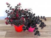 piante-sempreverdi-da-balcone-5. Loropetalum Floricotlura Gagliolo-living-corriere