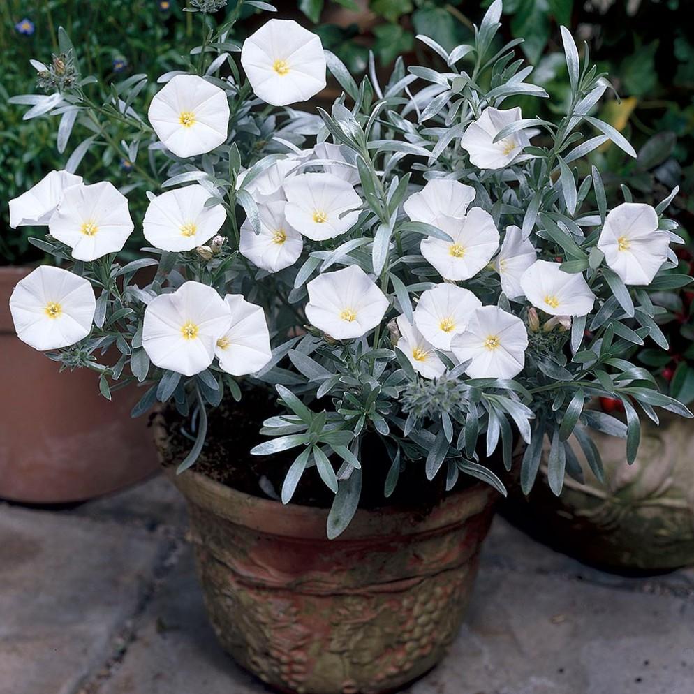 piante-sempreverdi-da-balcone-7. jparkers.co.uk-living-corriere