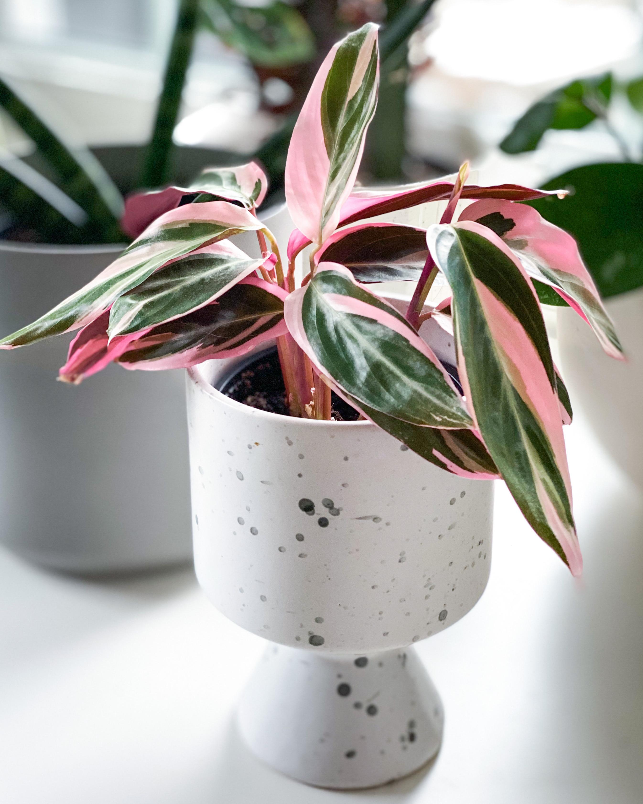 piante-da-appartamento-colorate-stromanhte-triostar-Evelyn-Sisco-@greenwithevy