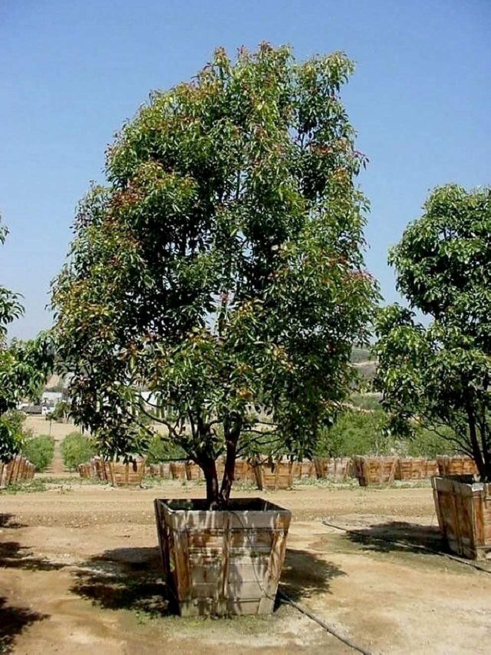 alberi-da-giardino-sempreverdi-2 Cinnamon canforaliving-corriere