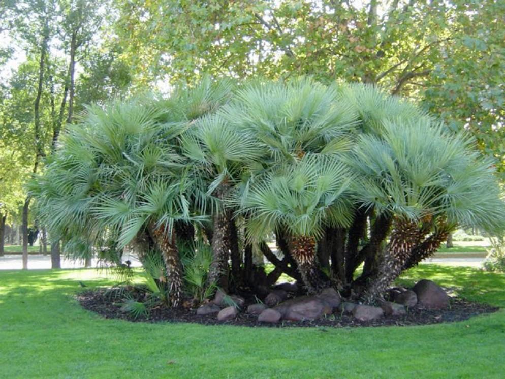 alberi-da-giardino-sempreverdi-3. Chamaerops_humilisit.yougardener.comliving-corriere