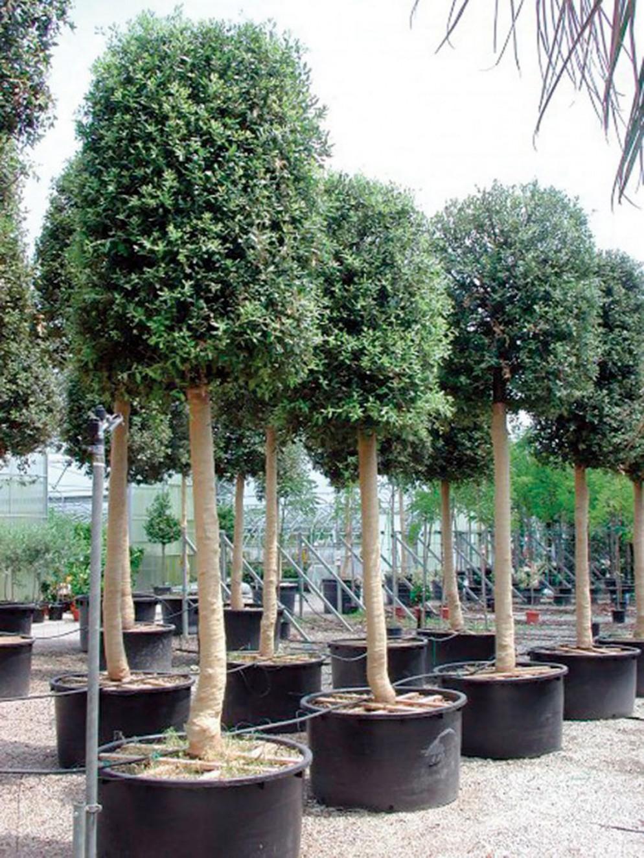 alberi-da-giardino-sempreverdi-6 Vivai Voltattorniliving-corriere