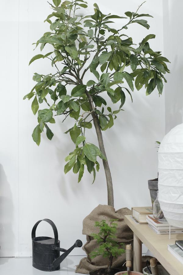 ficus-benjamin-10. @aboutgarden-living-corriere