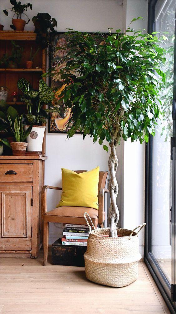 ficus-benjamin-5. happyhouseplants.co.uk-living-corriere
