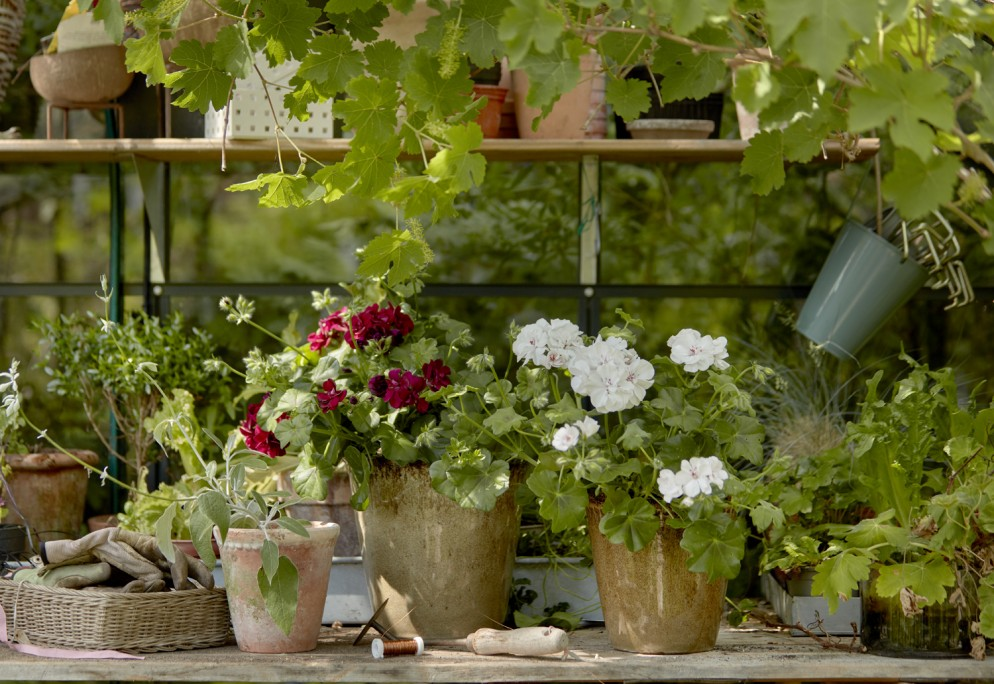 piante-da-balcone-resistenti-1. Geraniums_1000_My_Freestyle_Garden_08-livingcorriere