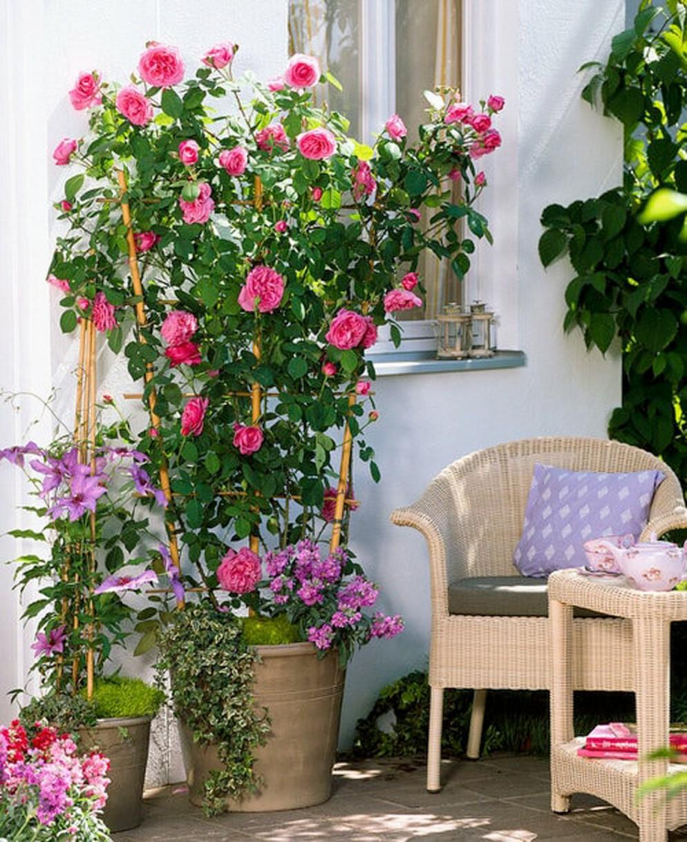 piante-da-balcone-resistenti-10. Rosa Rampicante-livingcorriere