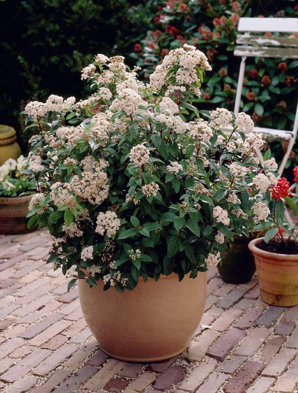 piante-da-balcone-resistenti-12. Viburnum Tinus-livingcorriere