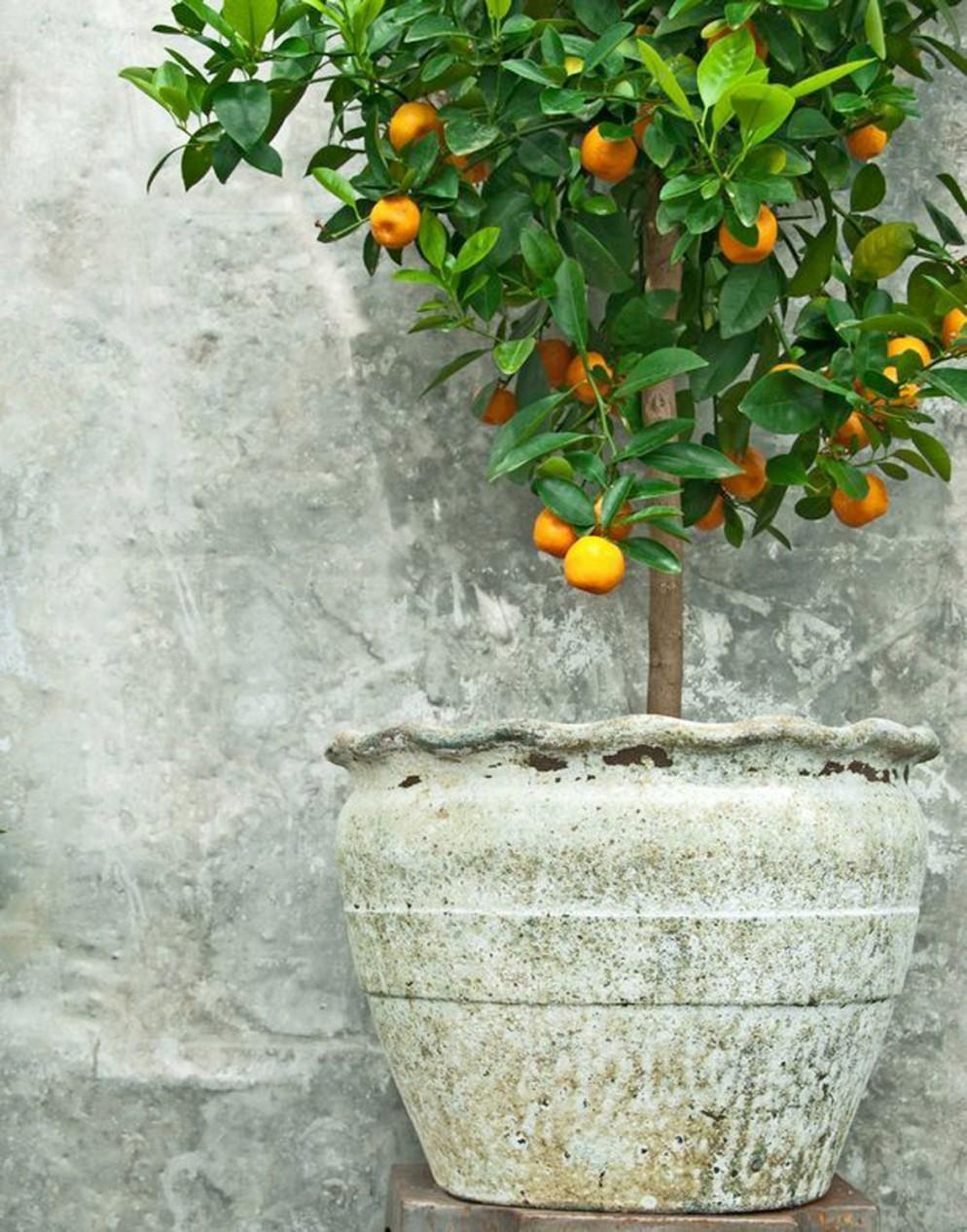 piante-da-balcone-resistenti-13. mandarino in vaso-livingcorriere