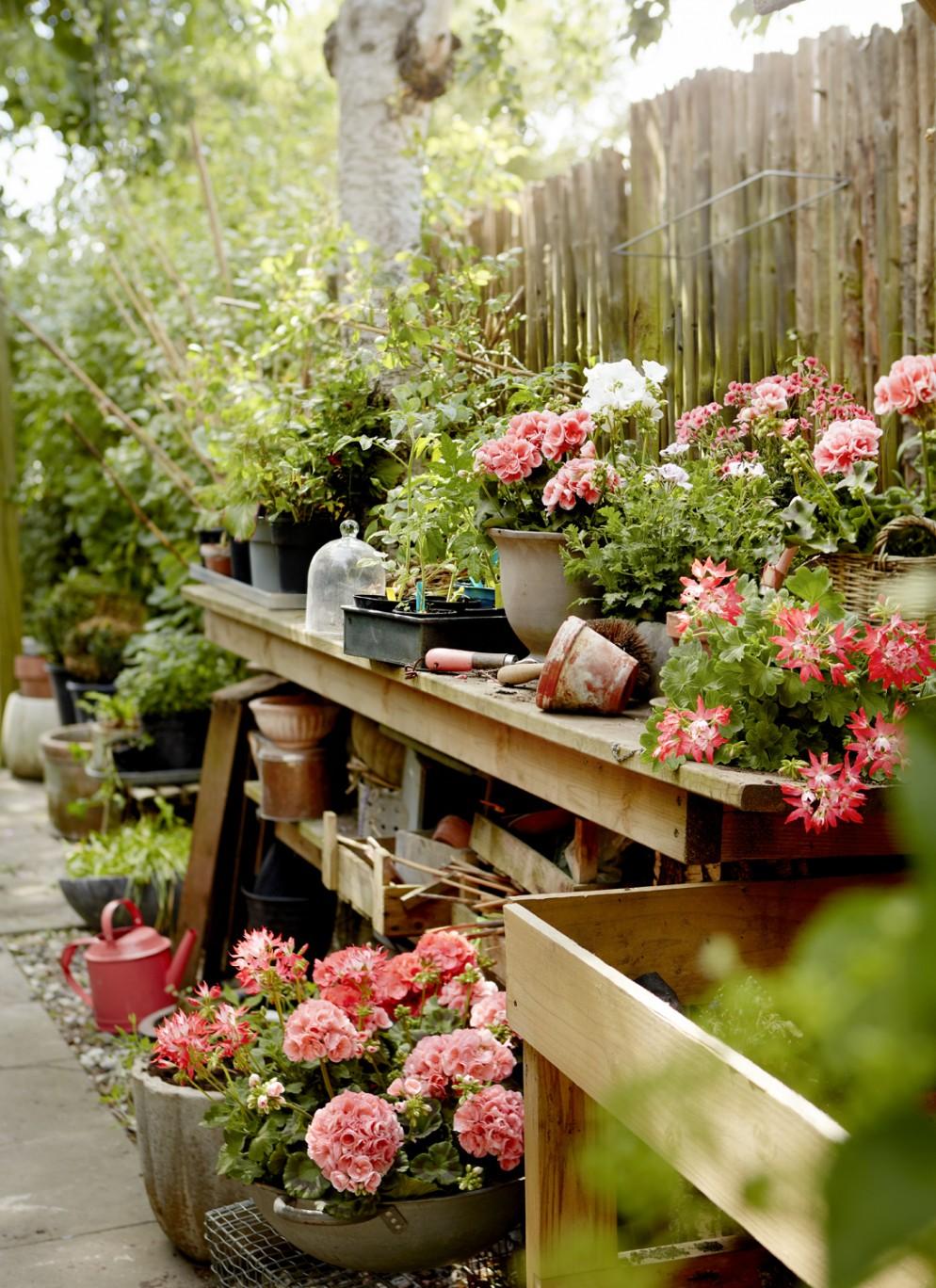 piante-da-balcone-resistenti-14. Geraniums_1000_My_Freestyle_Garden_02-livingcorriere