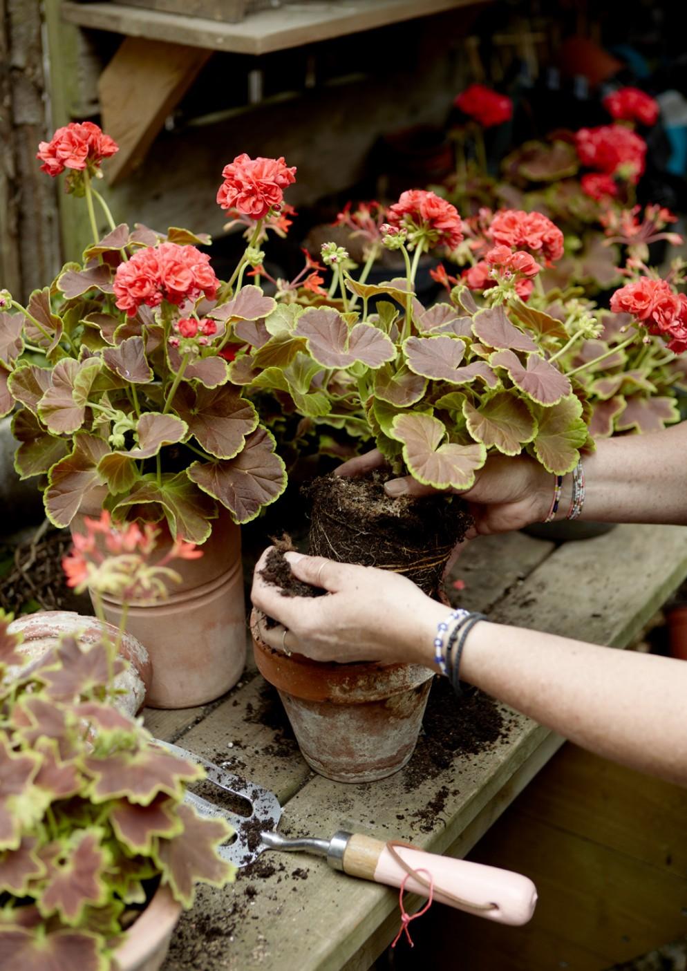 piante-da-balcone-resistenti-3. 2021_Geraniums_1000_My_Freestyle_Garden_04-livingcorriere