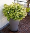 piante-da-balcone-resistenti-4. Abelia-livingcorriere