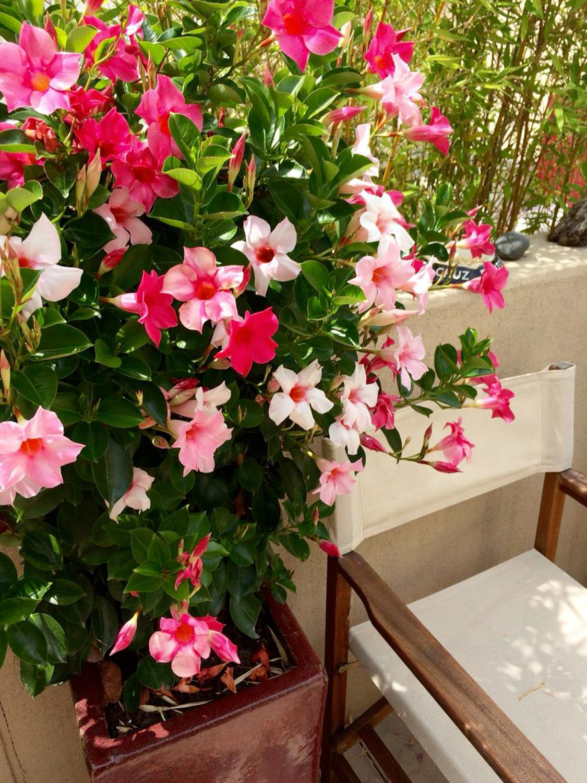 piante-da-balcone-resistenti-6. Dipladenias-livingcorriere