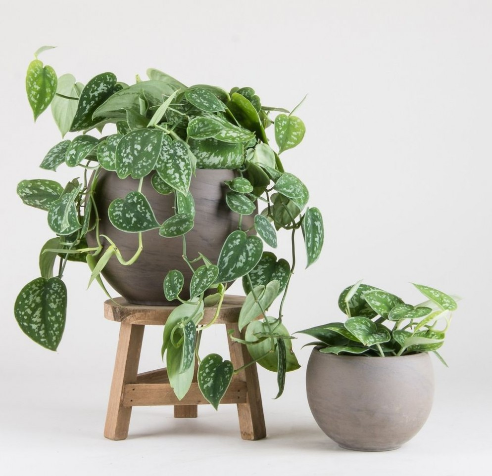 piante-ricadenti-da-interno-10. Scindapsus_pictus_Argyraeus_-_Pistils_Nursery Leroy Merlin-living-corriere
