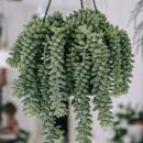 piante-ricadenti-da-interno-12. Sedum-Morganianum-I-Giardini-di-Ellis5-living-corriere