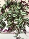 piante-ricadenti-da-interno-2. Tradescantia fluminensis Quicksilver etsy-living-corriere
