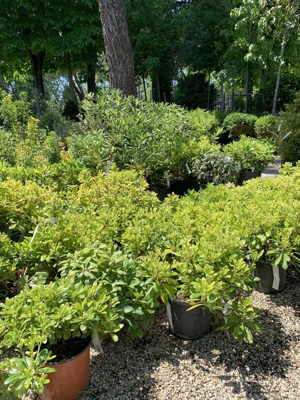 piante-sempreverdi-da-giardino-10.Pittosporum tobira nanumliving-corriere
