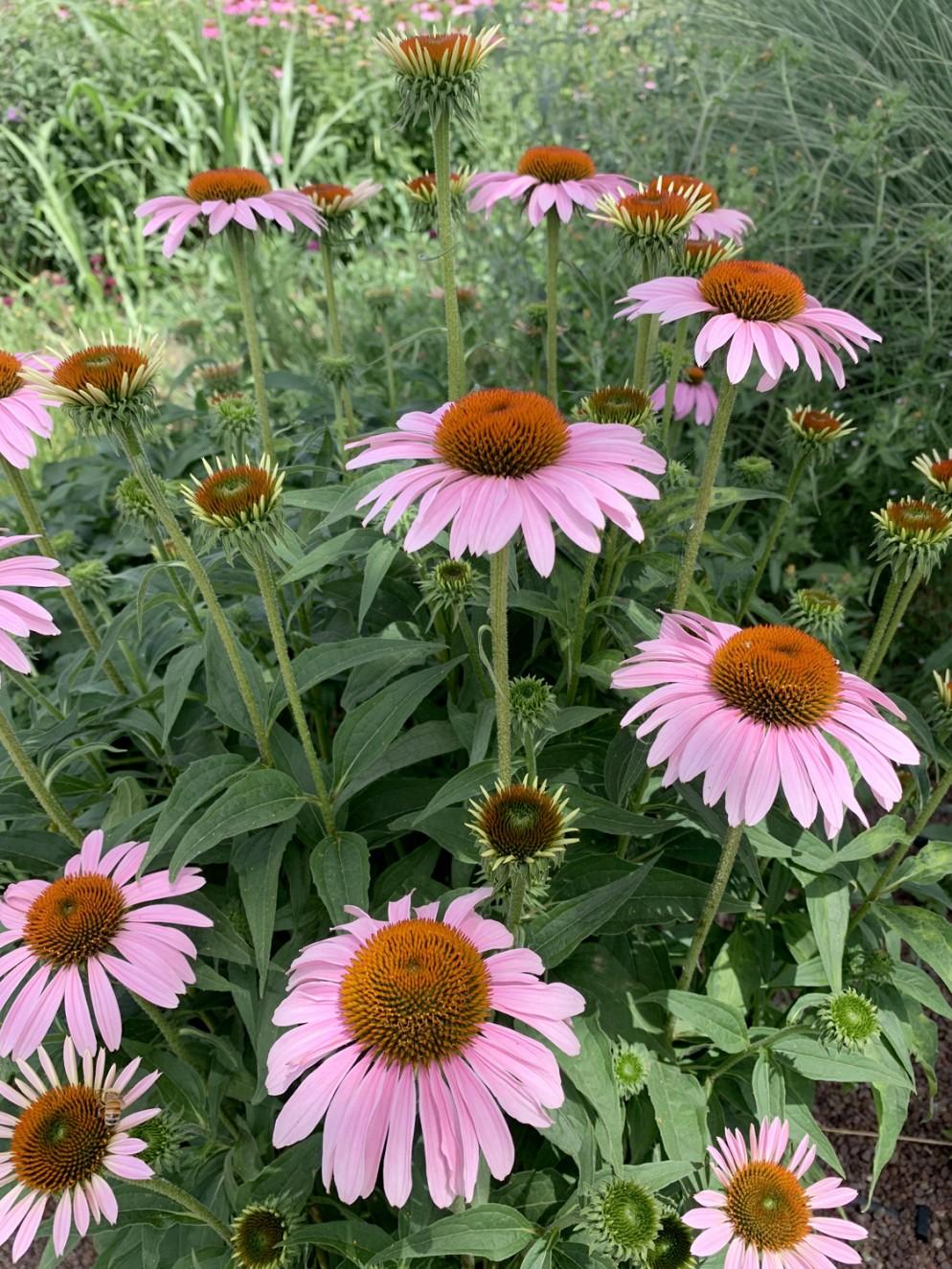 piante-sempreverdi-da-giardino-11. Echinacea pianta erbacea perenneliving-corriere