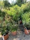 piante-sempreverdi-da-giardino-12. IMG_5486living-corriere