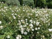 piante-sempreverdi-da-giardino-14. Rose arbustiveliving-corriere