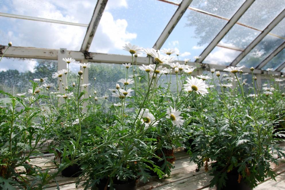 piante-sempreverdi-da-giardino-15. Margherite biancheliving-corriere