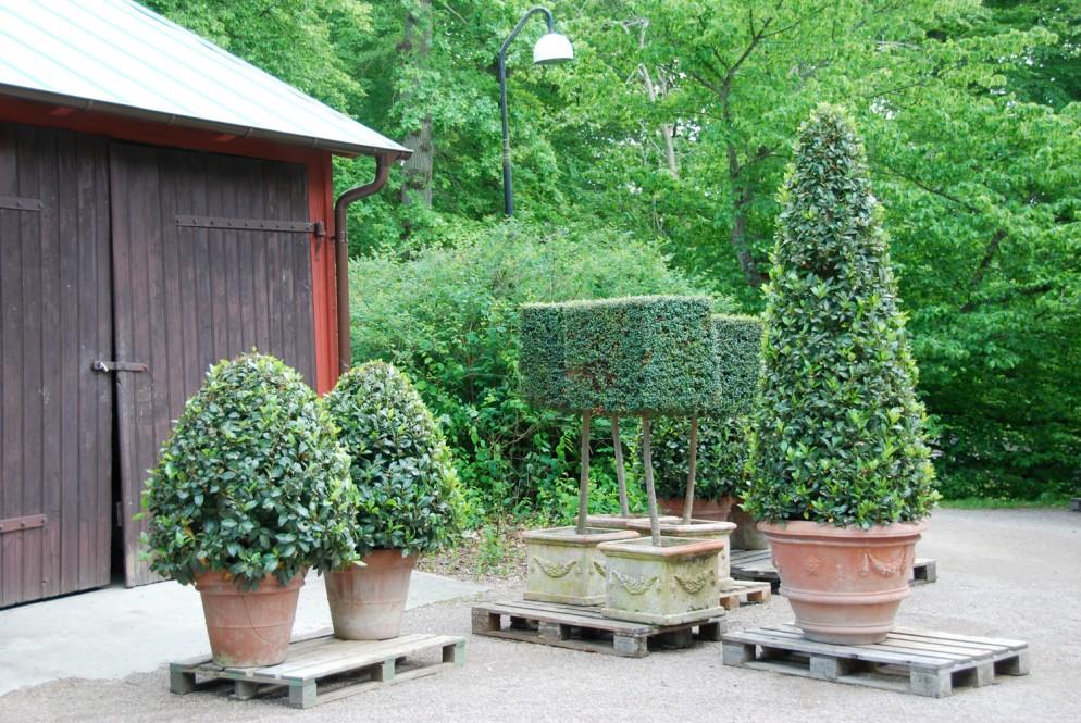 piante-sempreverdi-da-giardino-2. Alloro in vasoliving-corriere