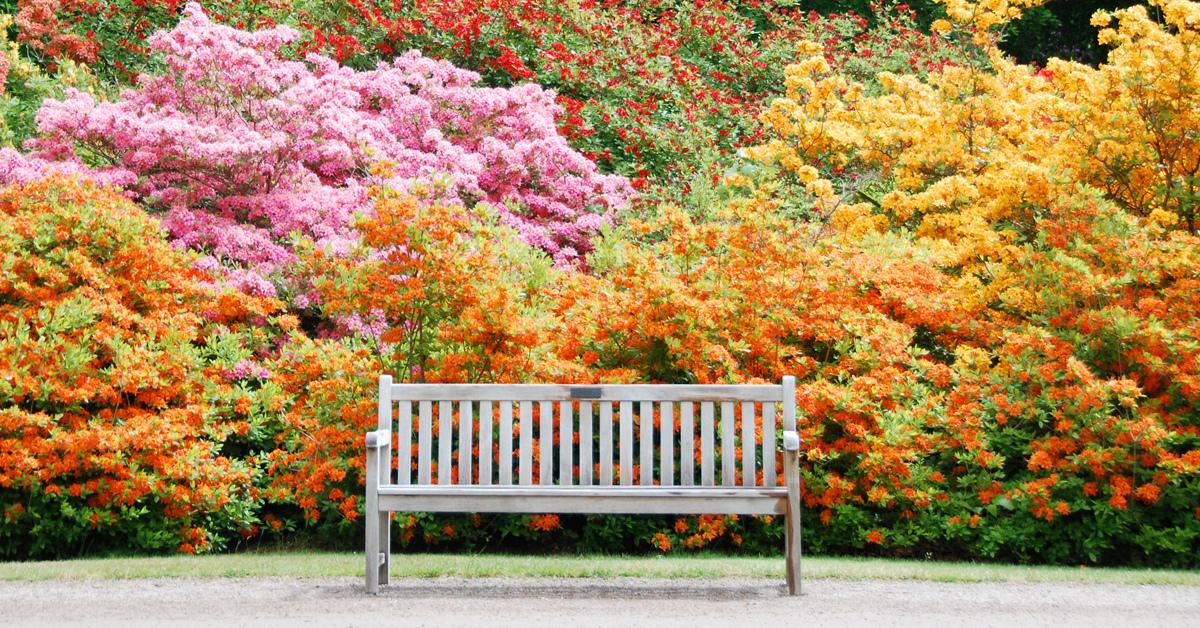 piante-sempreverdi-da-giardino-3.-Azalealiving-corriere (1)