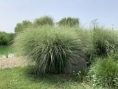 piante-sempreverdi-da-giardino-4. Eragrostis curvula graminacealiving-corriere