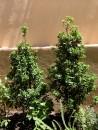 piante-sempreverdi-da-giardino-8. Ilexliving-corriere