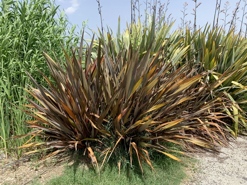 piante-sempreverdi-da-giardino-9. Phormiumliving-corriere