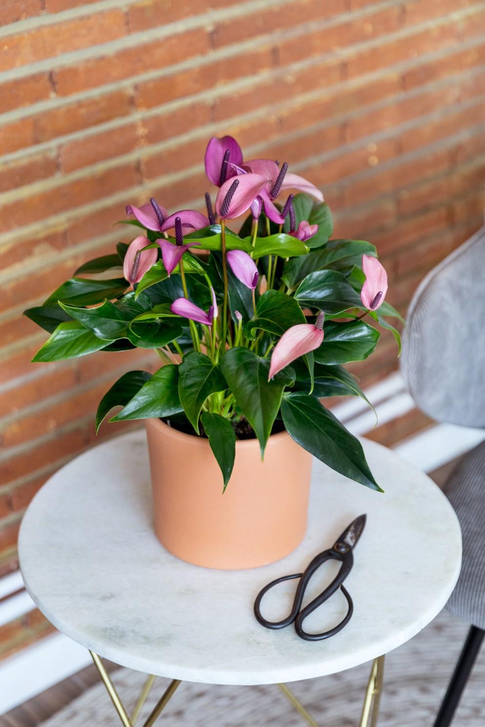 piante-da-interno-7.-thecolvinco.com-Lilac-(2)-living-corriere